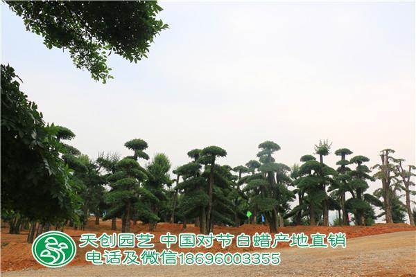 对节白蜡造型树基地2